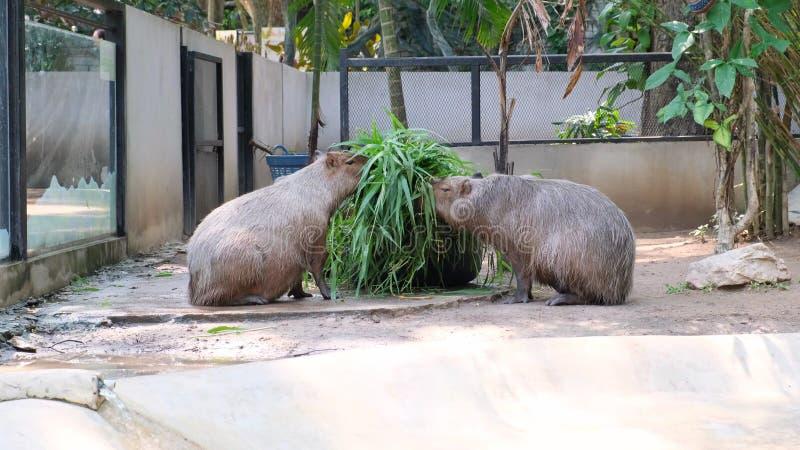 Più grande roditore di capybara nel mondo Capybara che si siede sull'erba verde fotografia stock libera da diritti