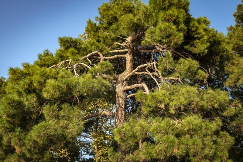 Più vecchio ` di pityusa di pinus brutia del ` del pino di Pitsunda sull'argine di Gelendzhik fotografie stock
