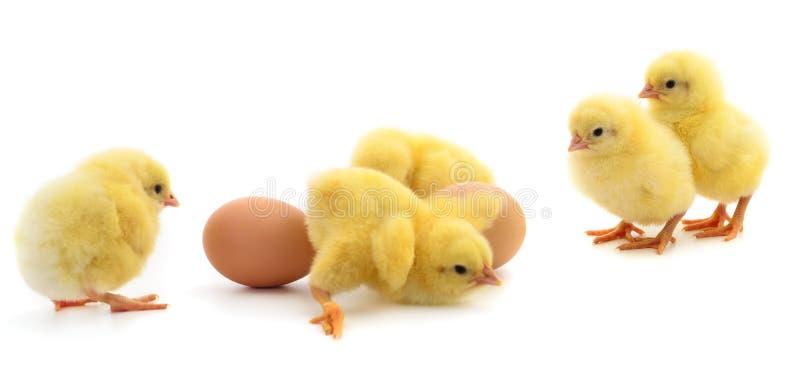 Pięć żółci jajek i kurczaki obraz royalty free