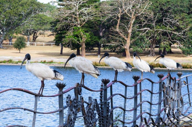 Pięć Australijskich białych ibisów zostają na ogrodzeniu blisko jeziora i drzewa uprawiają ogródek w tle przy Sydney Centennial p obraz stock