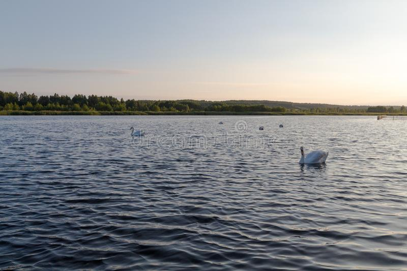 Pięć białych łabędź w jeziorze na zmierzchu fotografia royalty free