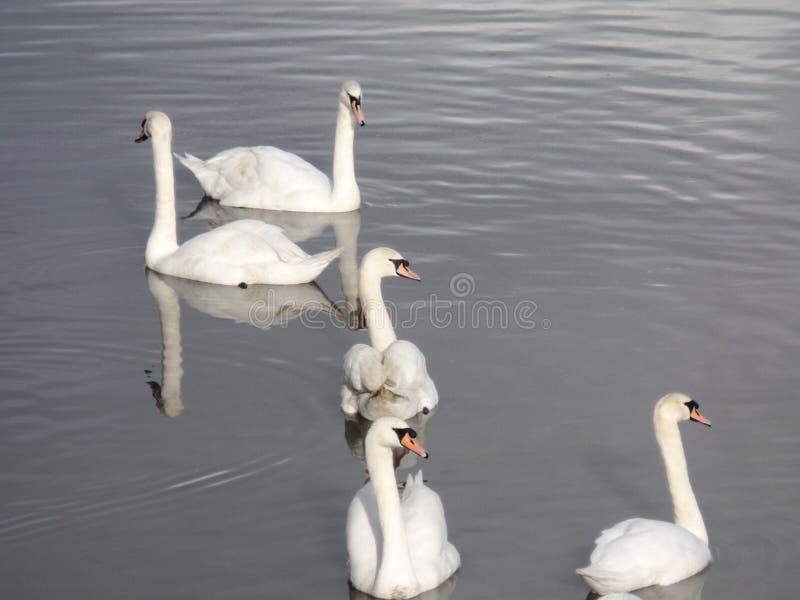 Pięć białych łabędź w rzece obrazy royalty free
