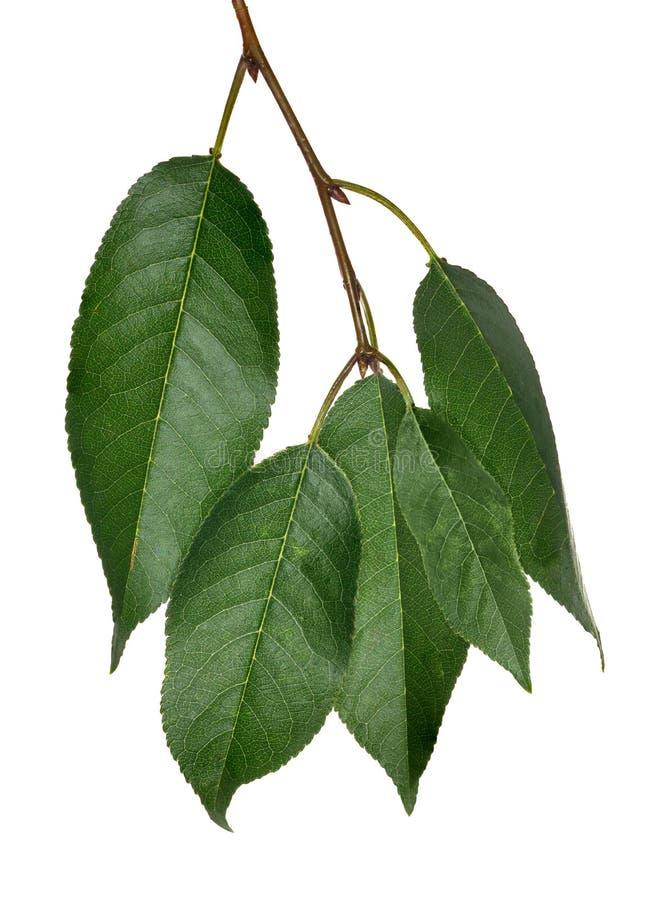Pięć czereśniowego drzewa zieleni liści na bielu fotografia royalty free