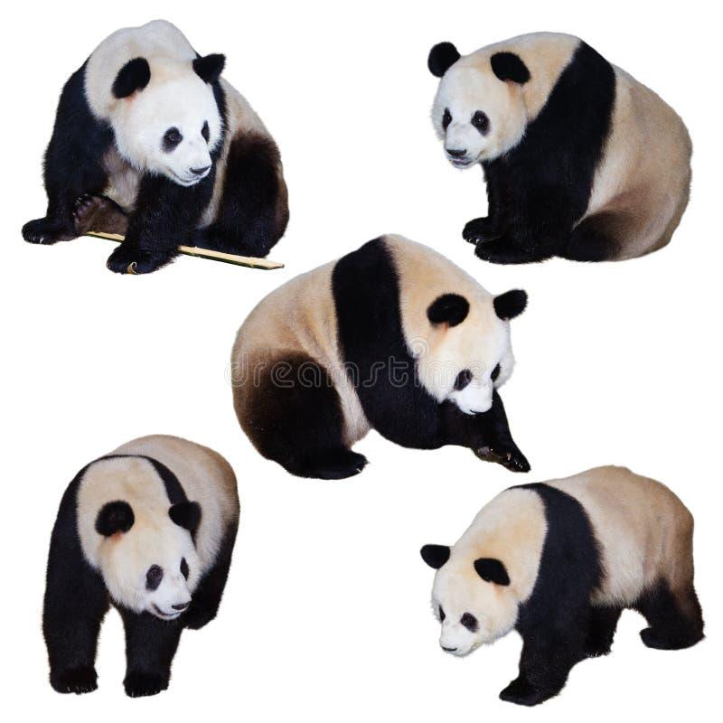 pięć gigantycznej pandy poz zdjęcia stock