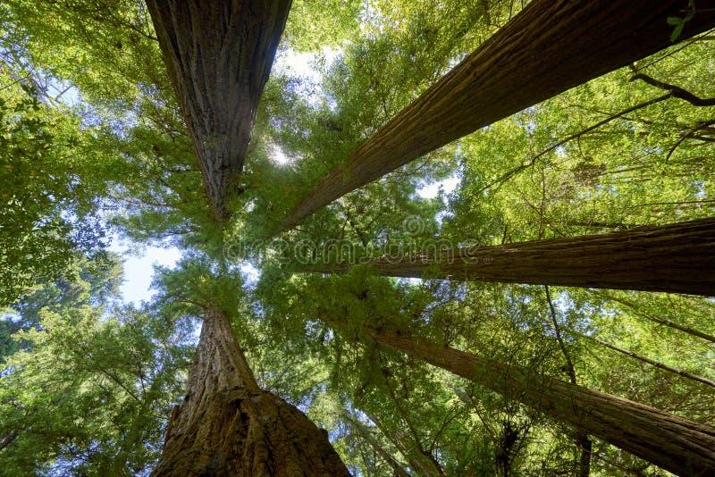 Pięć gigantycznych redwood drzew zbiega się przeciw błękitnemu lata niebu zdjęcie royalty free