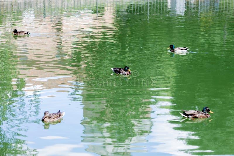 Pięć kaczek pływa na jeziorze fotografia royalty free