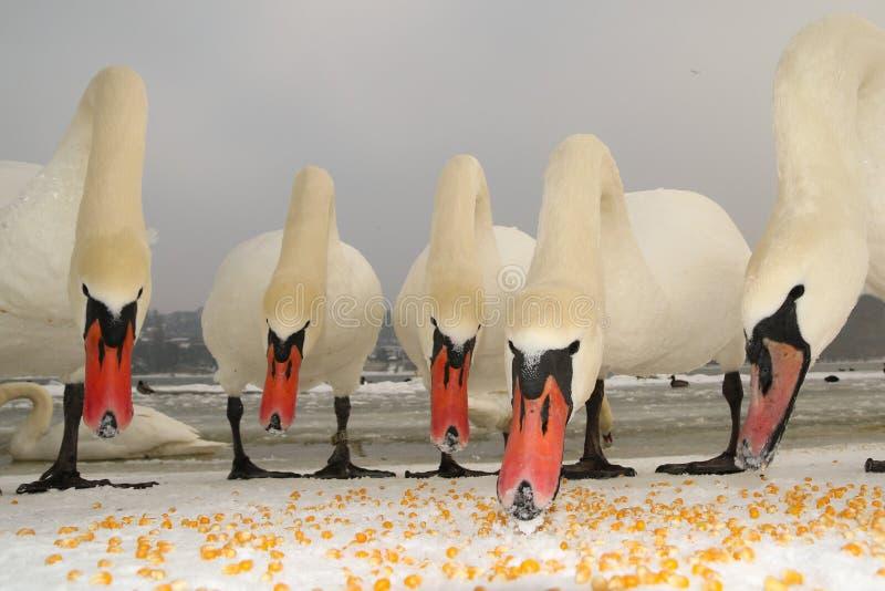Pięć niemych łabędź karmią fotografia royalty free