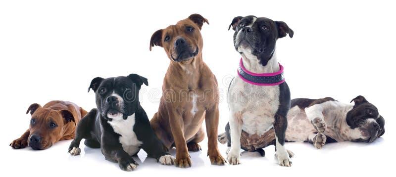Pięć Staffordshire Bull terrier obrazy stock