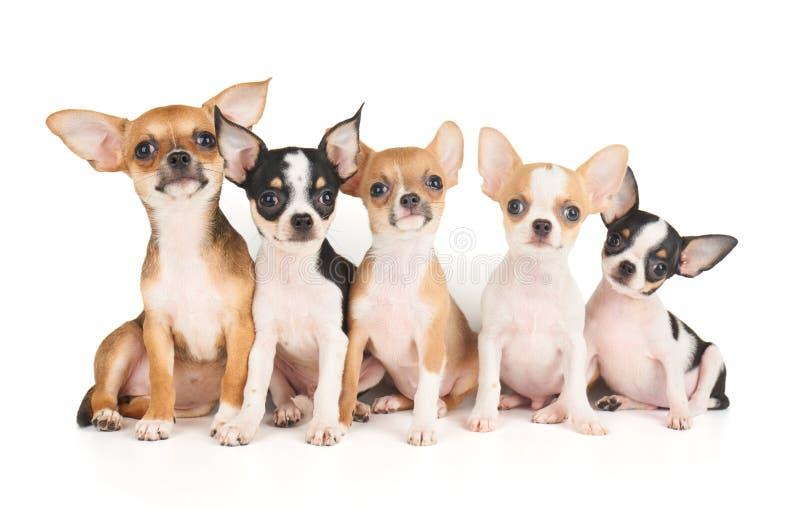 Pięć szczeniaków chihuahua obraz stock