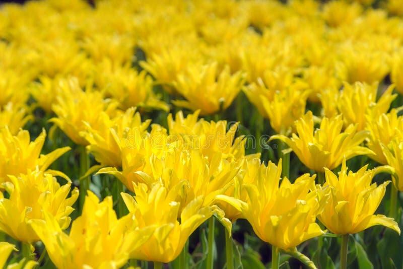 Piękna żółta kwiat plantacja Handlowy dorośnięcie w botani zdjęcia royalty free