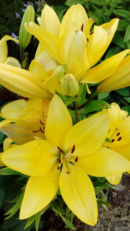 Piękna, żółta leluja, fotografia stock