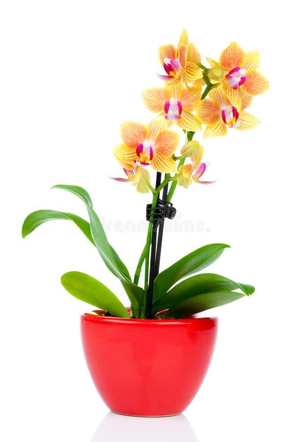 Piękna żółta orchidea w garnku fotografia royalty free