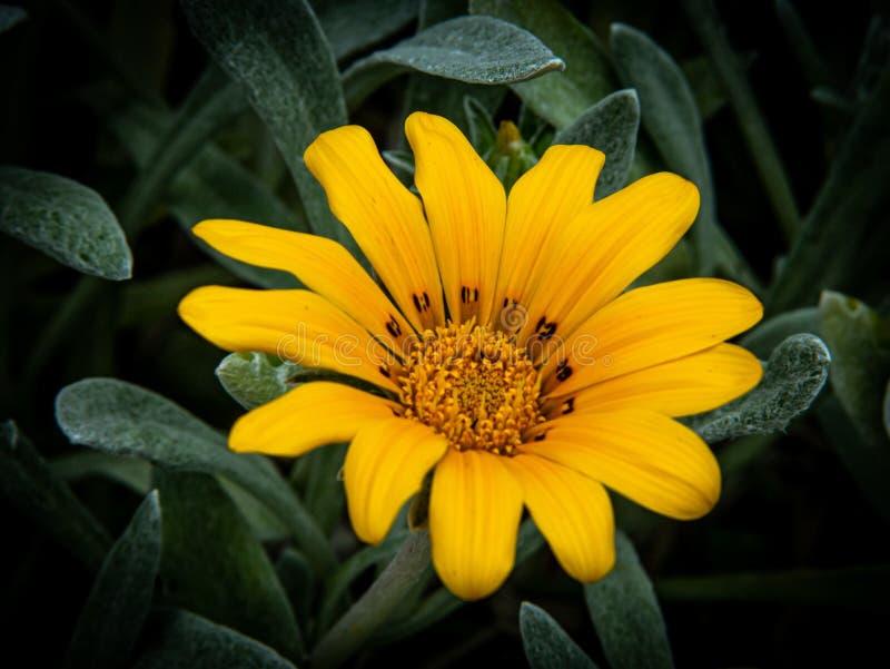 Piękna żółta stokrotka jako makro- strzał zdjęcie royalty free