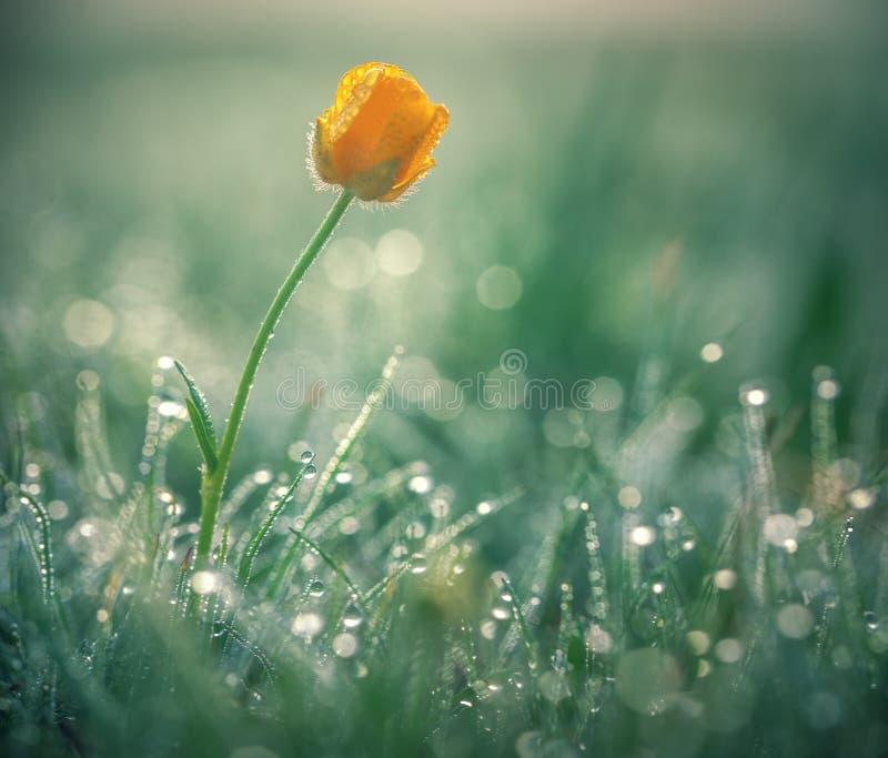 Piękna żółta stokrotka w ranek rosie Płytka głębia pole zdjęcia royalty free