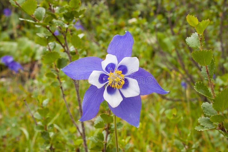 Piękna alpejska zlewisko kwiatów w pobliżu, latin name aquilegia zdjęcie stock