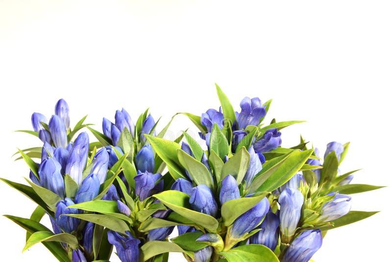 Piękna błękitna gencjana obrazy royalty free