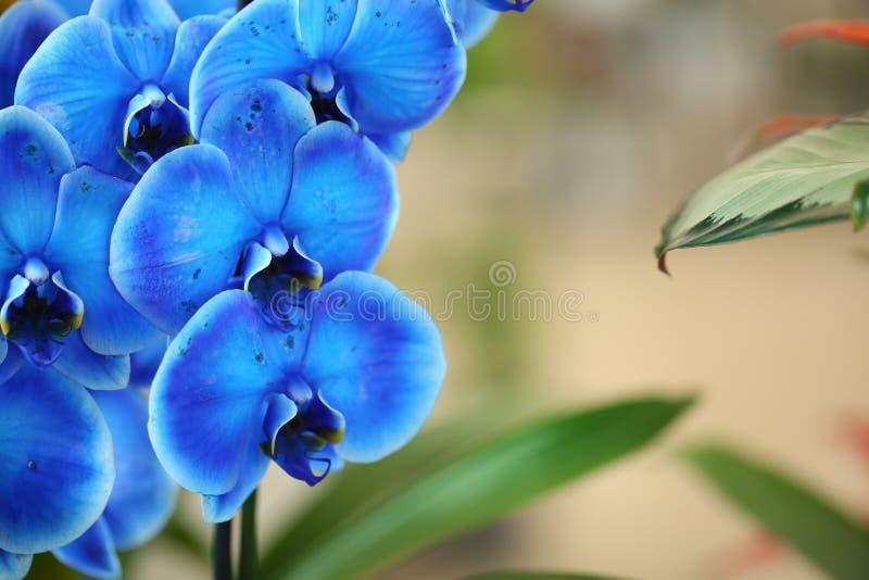 Piękna błękitna orchidea kwitnie zamazanego tło, zbliżenie tropikalne rośliny zdjęcia royalty free