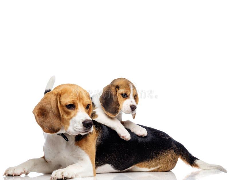 Piękna beagle rodzina obraz royalty free