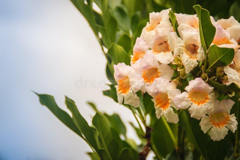 Piękna biała żółta dzikich kwiatów podobieństw trąbka kształtująca z niebieskiego nieba niebem i zieleń liści tłem zdjęcia stock
