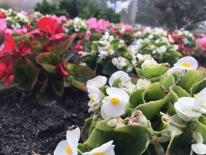 Piękna biała czerwień kwitnie w ogródzie w mieście zdjęcie royalty free