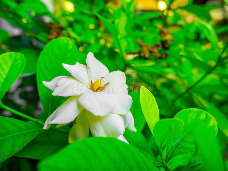 Piękna biała gardenia na gałęziastym drzewie fotografia stock