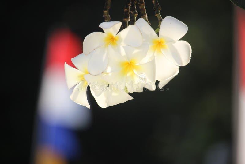 Piękna biała kambodża lub semboja Latin: Plumeria to grupa roślin z klanu Plumeria zdjęcia royalty free