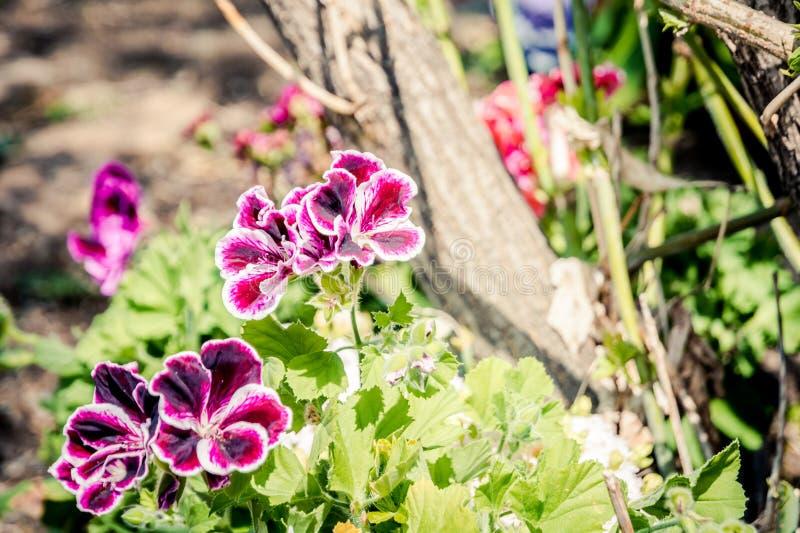 Piękna biała petunia w wiszącym kwiatu garnku w ogródzie zdjęcia stock