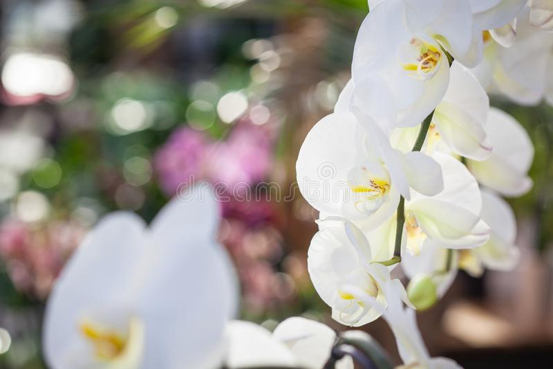 Piękna biała Phalaenopsis orchidea kwitnie z colourful naturalnym tłem fotografia stock