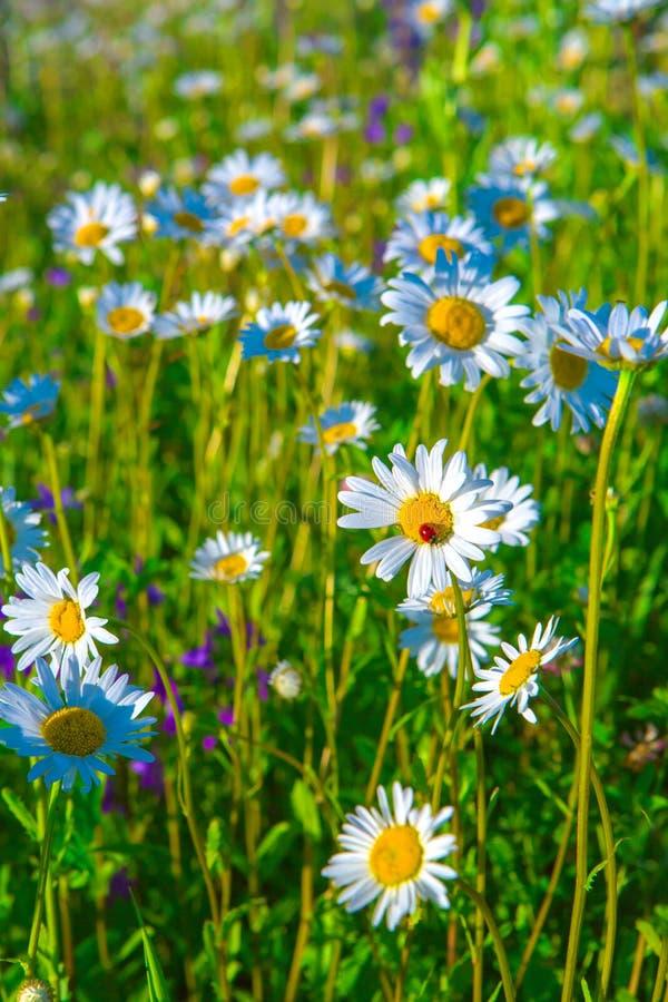 Piękna biała stokrotka i biedronka na zielonej lato łące zdjęcie stock