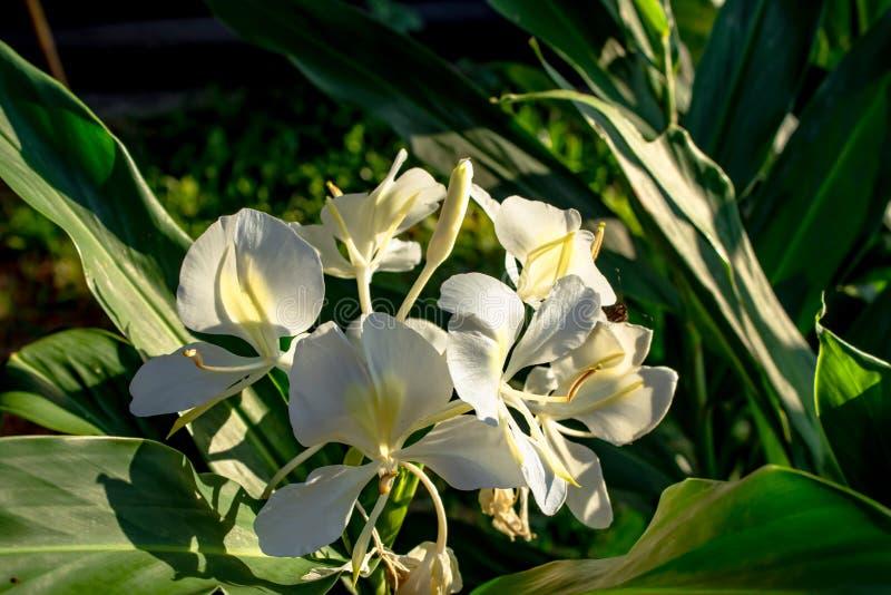 Piękna białych kwiatów tła zieleń opuszcza w Garde zdjęcia royalty free