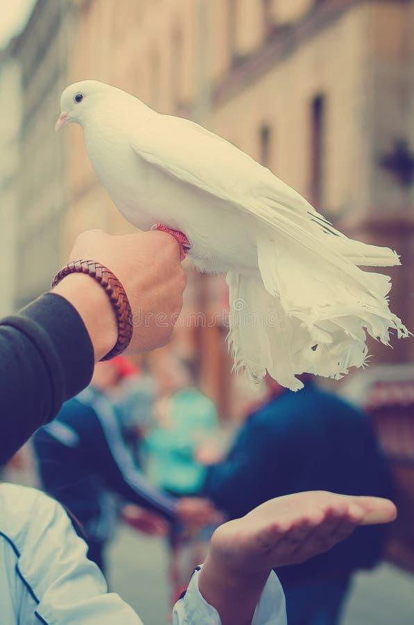 Piękna biel gołąbka siedzi na ręce mężczyzna obraz royalty free