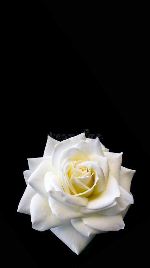 Piękna biel róża odizolowywająca na czarnym tle Ideał dla kartek z pozdrowieniami dla poślubiać, urodziny, walentynka dzień, matk obraz royalty free