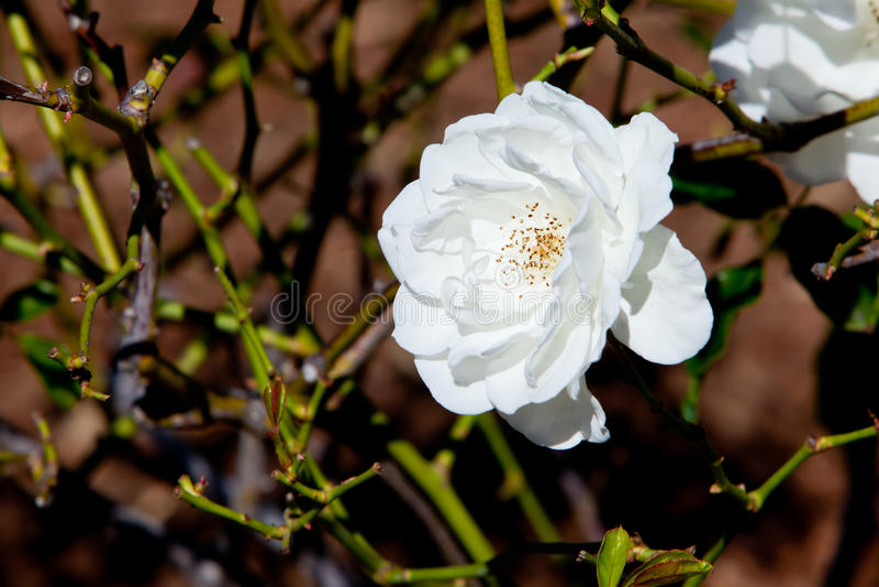 Piękna biel róża - Rosaceae Rosa góra lodowa Floribunda zdjęcia stock