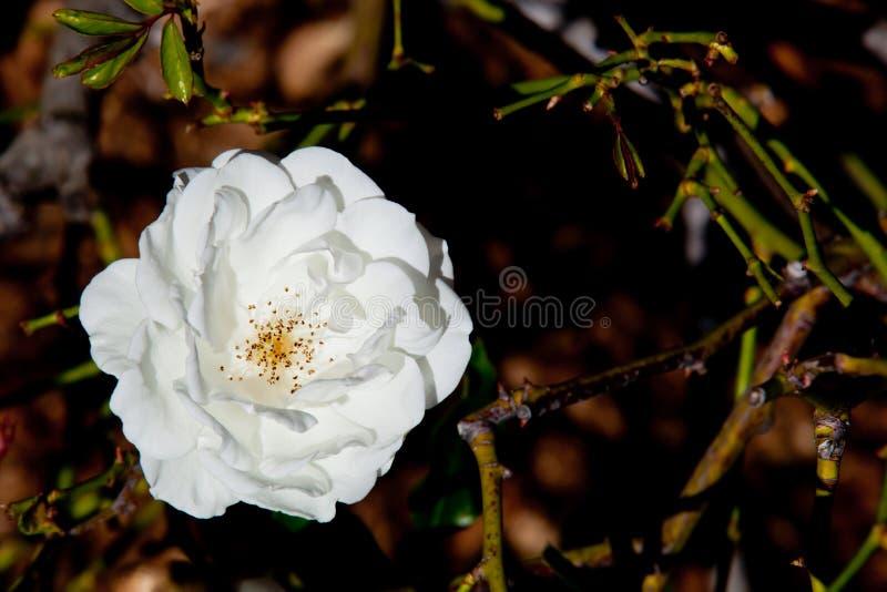 Piękna biel róża - Rosaceae Rosa góra lodowa Floribunda zdjęcie stock