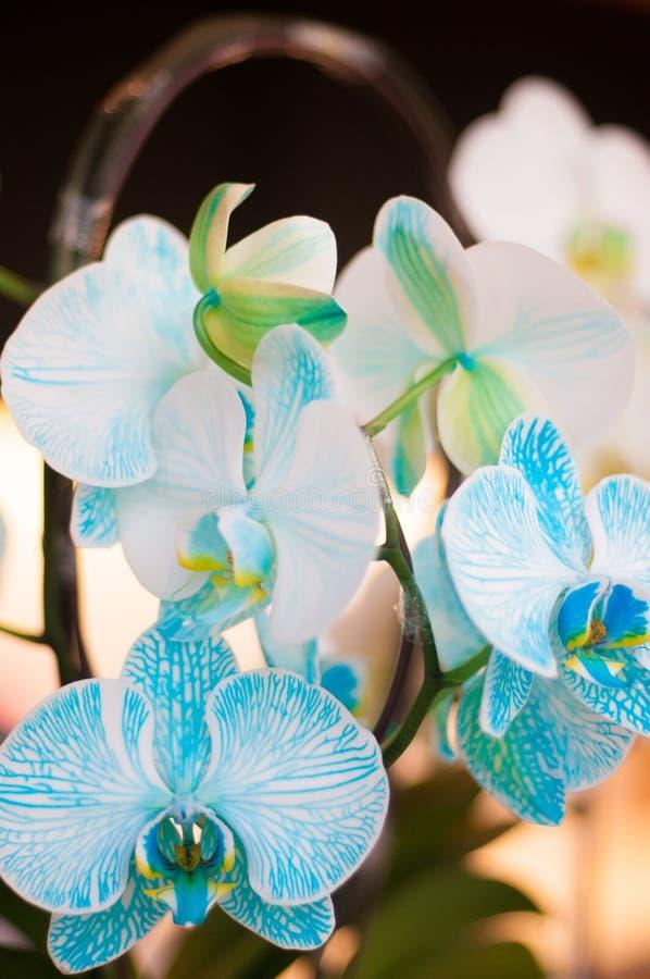 Piękna bielu i nieba błękita koloru orchidea obraz royalty free