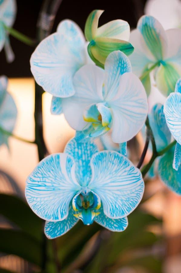 Piękna bielu i nieba błękita koloru orchidea obrazy royalty free