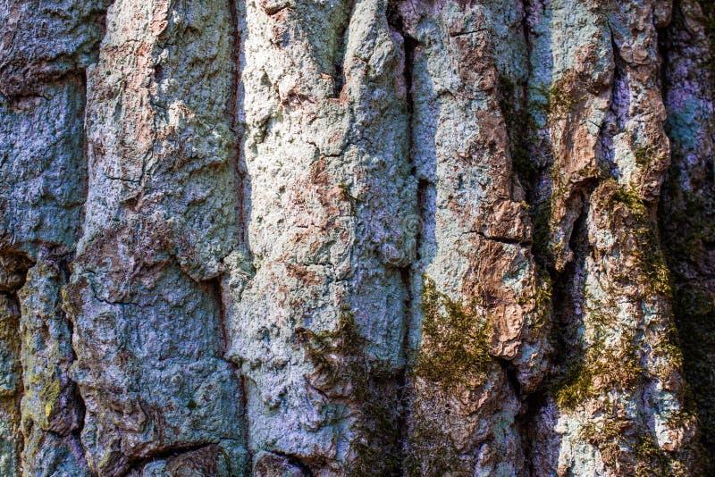Pi?kna Birchor d?bowa drzewna barkentyna wyszczeg?lnia? tekstur? z zielonym liszajem lub mech Las i drzewny naturalny t?o Zamyka  obrazy royalty free
