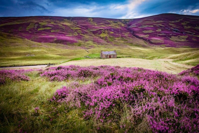 Piękna Braemar góra z głębokim - purpurowi górscy wrzosów krzaki w kontraście do zielonej trawy, uwypukla starego rocznika dom fotografia stock