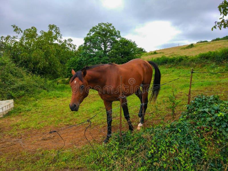 Piękna brown koński odprowadzenie przez rancho z zielonej trawy polem obraz royalty free