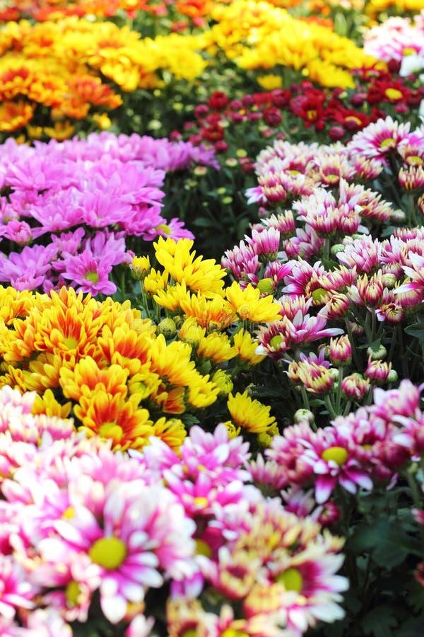 Piękna chryzantema w ogródzie obraz stock