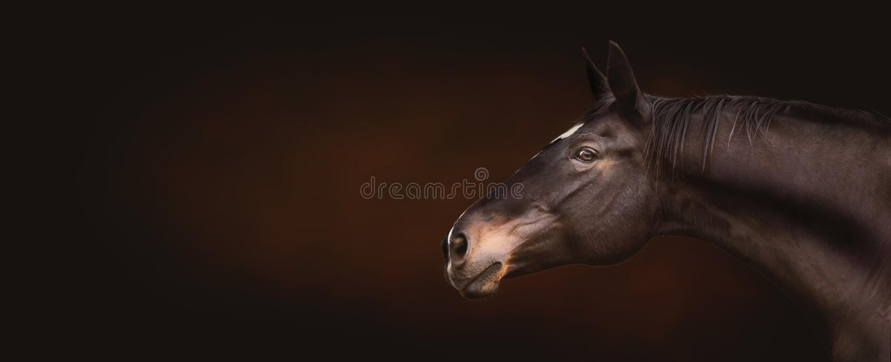 Piękna czarna końska głowa, portret w profilu, expressionally patrzeje kamerę na ciemnym tle, miejsce dla teksta, sztandar obrazy royalty free