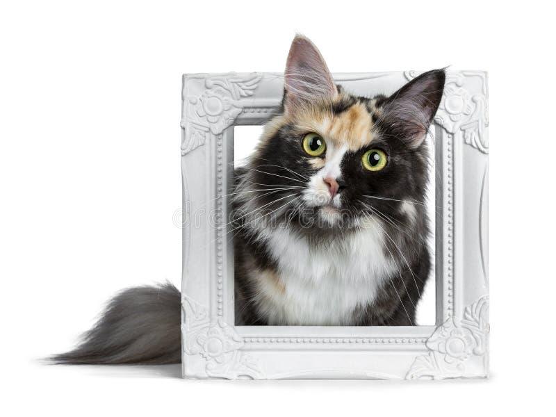 Piękna czerń dymu tortie Maine Coon kota dziewczyna kłaść w białej obrazek ramie odizolowywającej na białym tle patrzeje prosto w zdjęcia royalty free