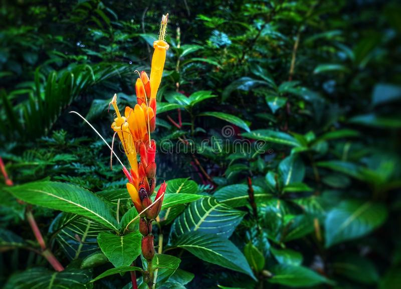 Piękna czerwień i żółty kwiat w ogródzie, zbliżenie widok zdjęcie royalty free