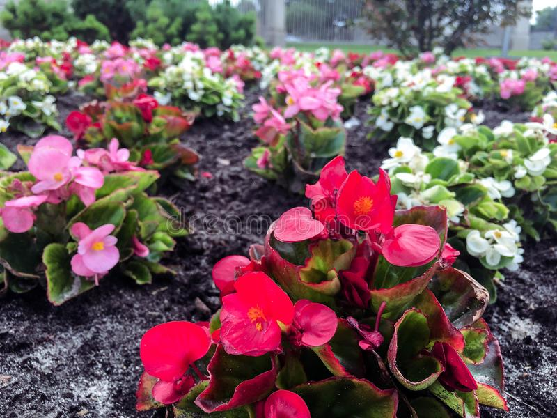 Piękna czerwień kwitnie w ogródzie w mieście obrazy royalty free