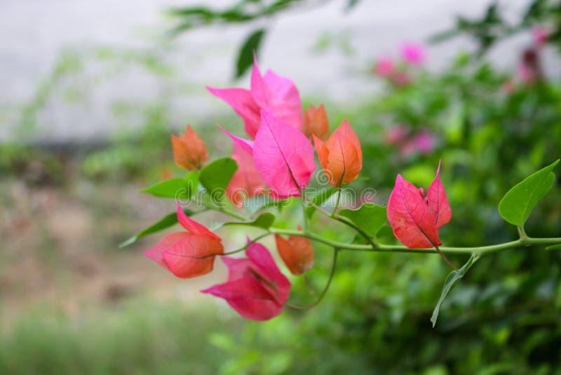 piękna czerwień liści zdjęcia royalty free