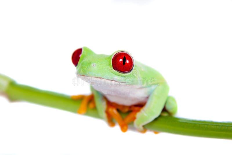 Piękna czerwień przyglądał się drzewnej żaby na białym tle obraz stock