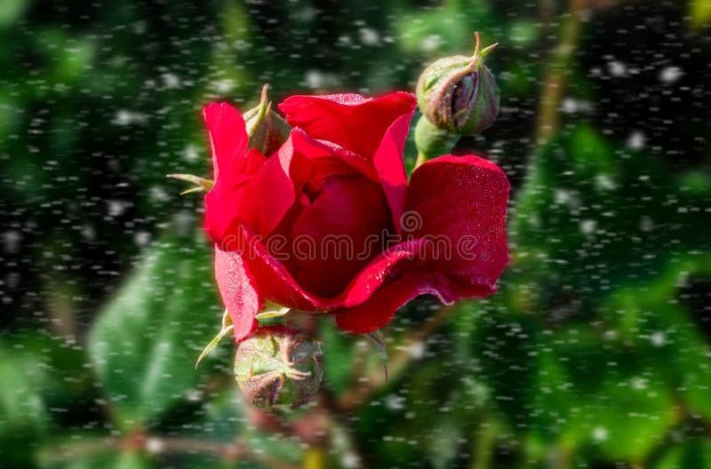 Piękna czerwieni róża po tym jak deszcz na pięknym wystroju, obraz stock