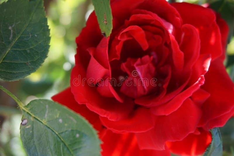 Piękna czerwieni róża z liśćmi wewnątrz w górę obraz royalty free