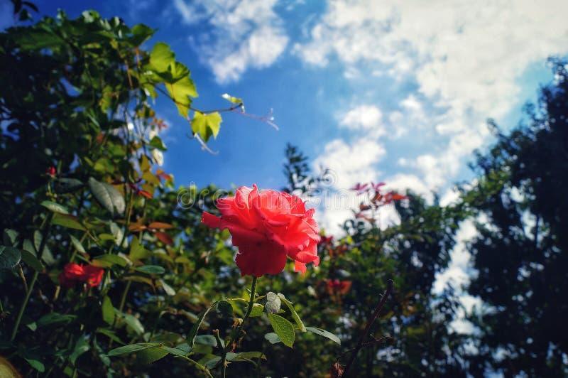 piękna, czerwona róża obraz royalty free