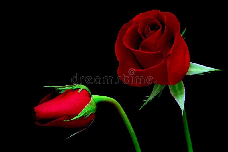 Piękna czerwona róża i pąk na ciemnym tle zdjęcie royalty free
